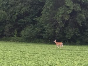 deer by Oakwood Illinois