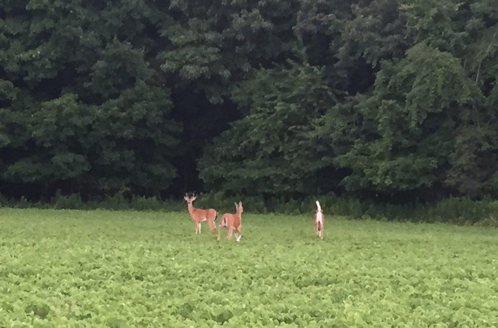 Deer – Venison – Hunting?